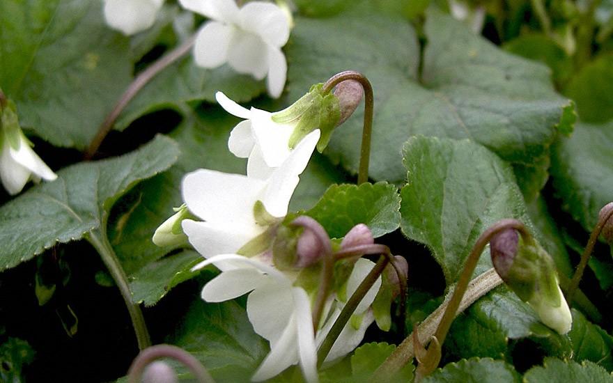 Duftveilchen, weiß blühend (Pflanze)