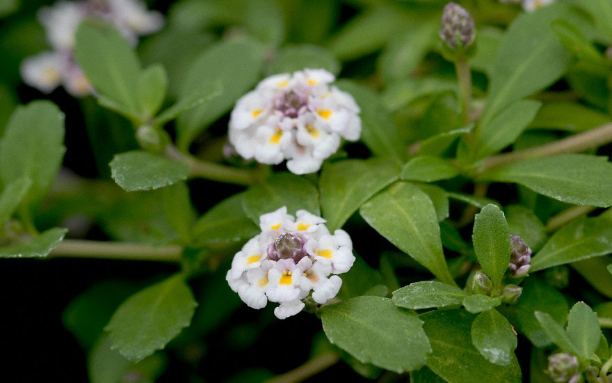 Teppich-Verbene (Pflanze)