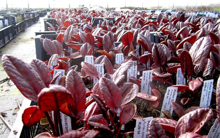 Roter Sauerampfer (Pflanze)
