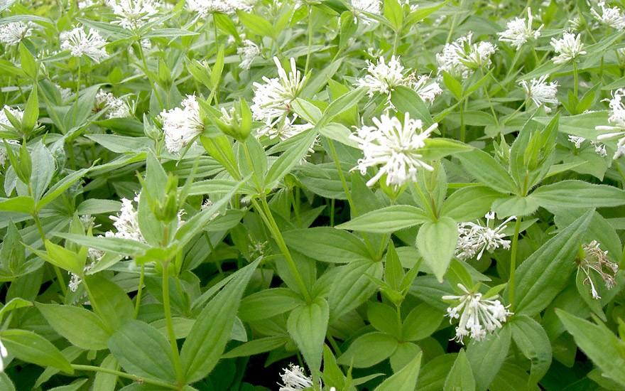 Turiner Waldmeister (Pflanze)