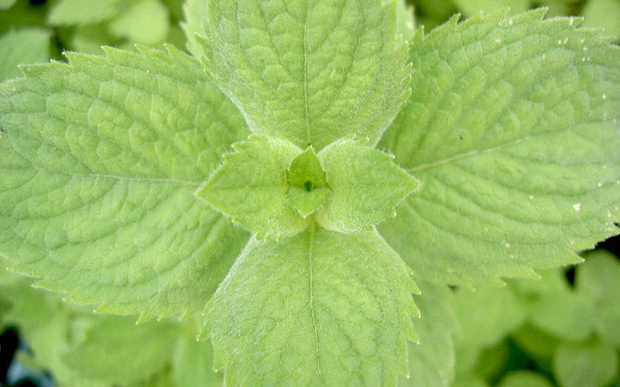 Bowles Apfelminze (Pflanze)