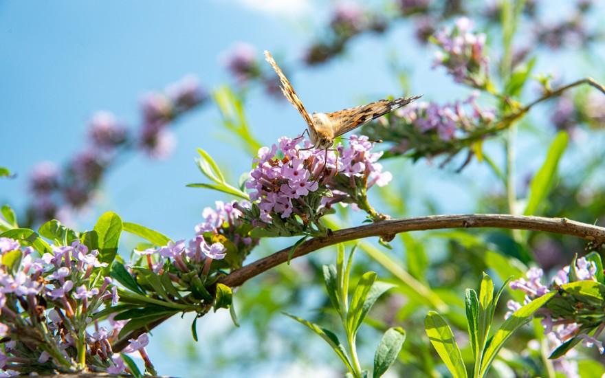 Hängender Sommerflieder (Pflanze)