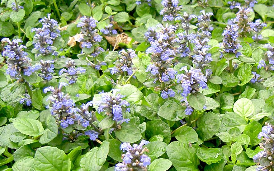 Günsel, kriechend (Pflanze)