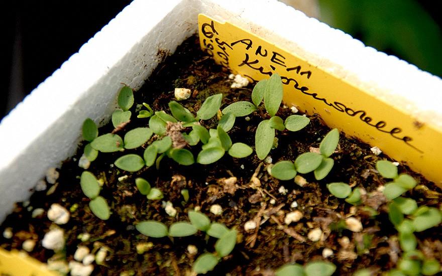 Küchenschelle (Saatgut)
