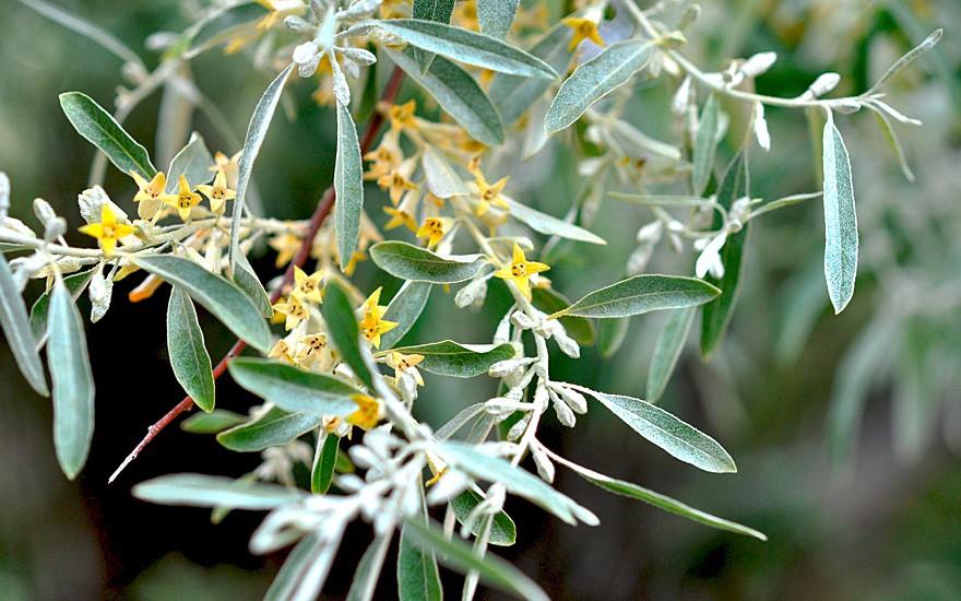 Schmalblättrige Ölweide (Pflanze)