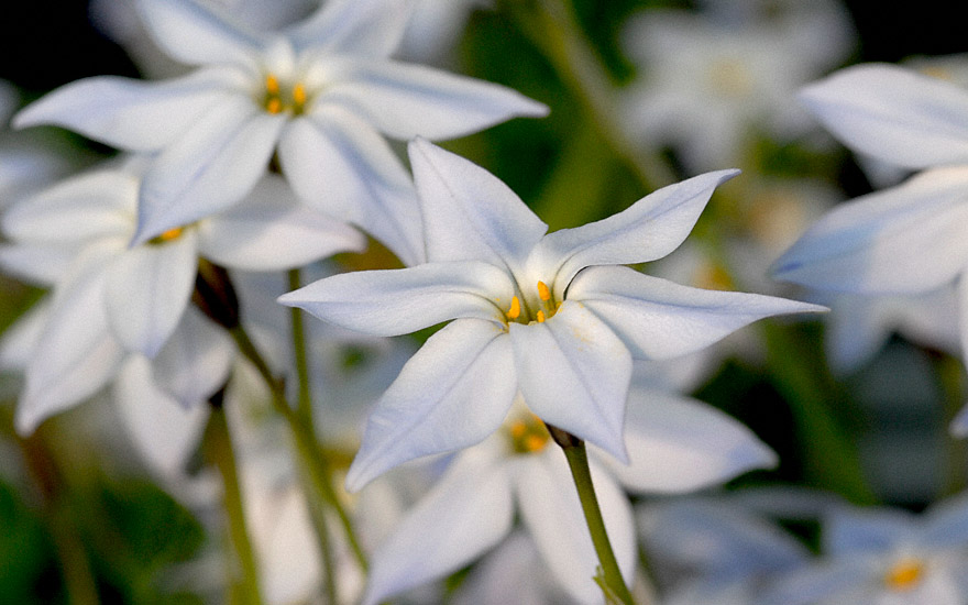 Sternblume (Pflanze)