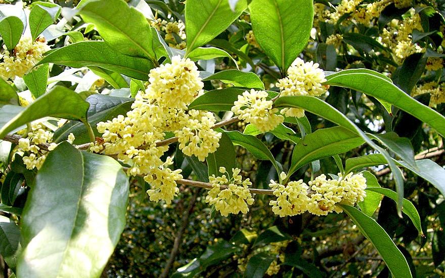 Süsse Duftblüte (Pflanze)