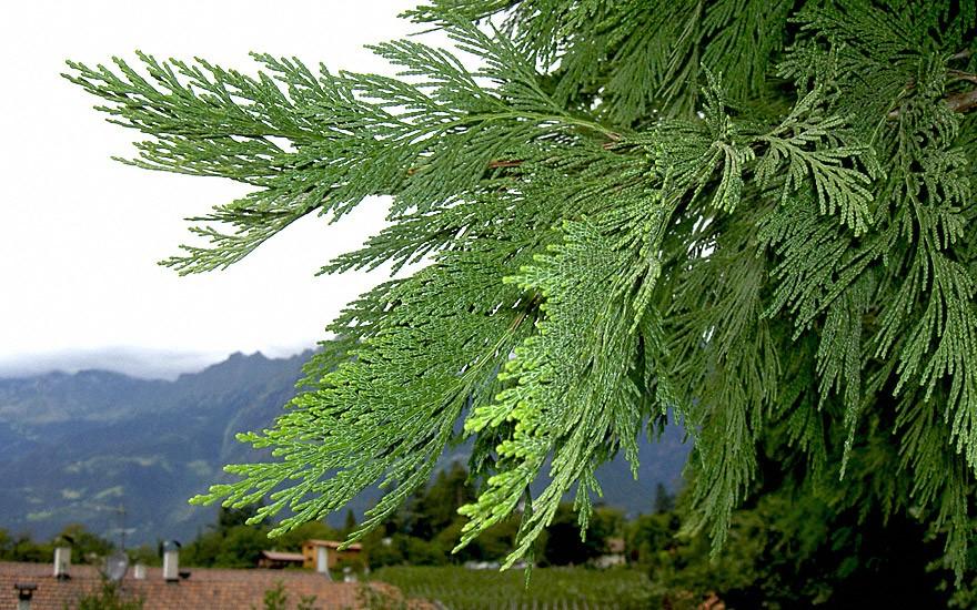Weihrauchzeder (Pflanze)