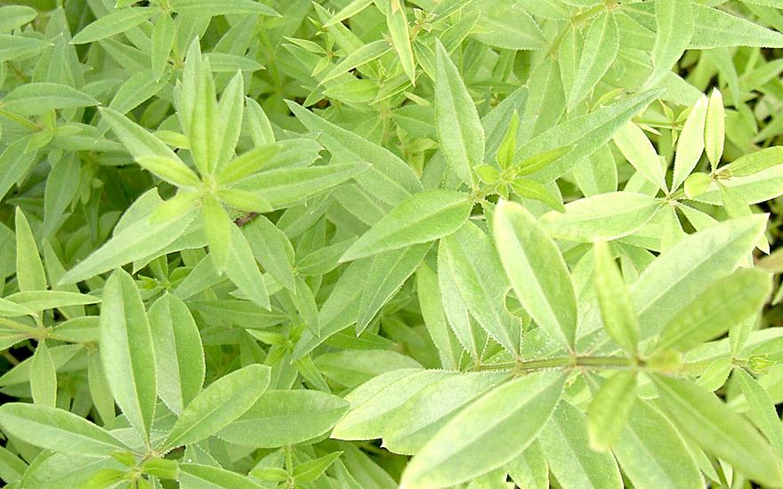 Färberkrapp (Pflanze)