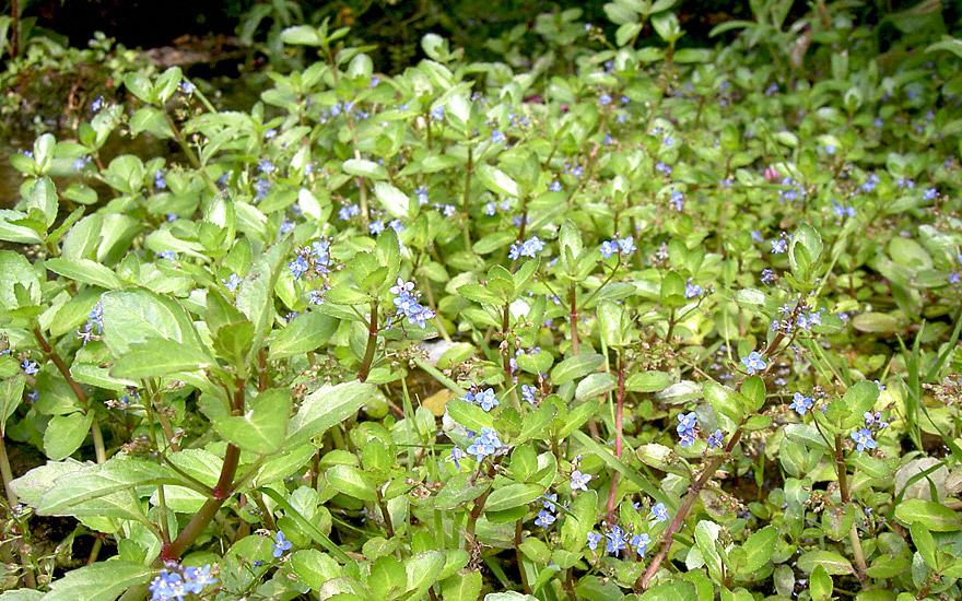 Bachbunge (Pflanze)