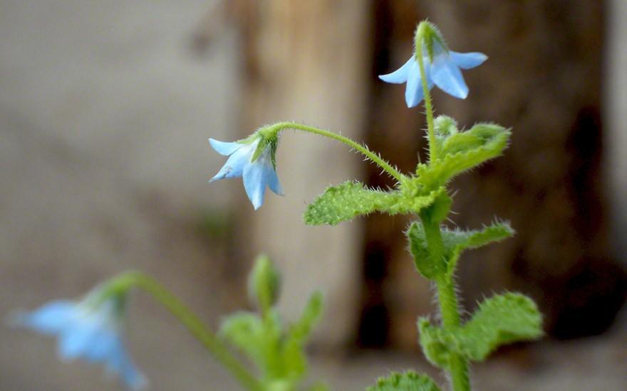Ausdauernder Borretsch (Pflanze)
