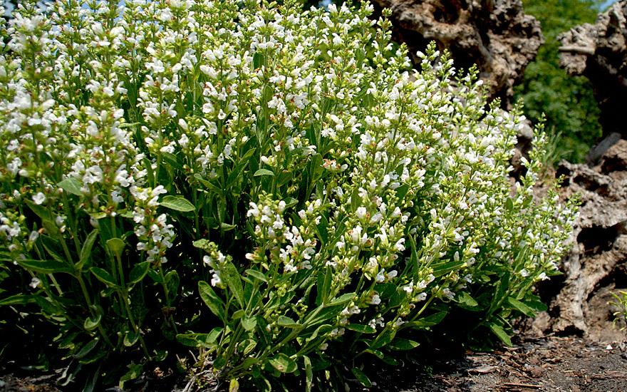 Salbei, weiß blühend (Pflanze)