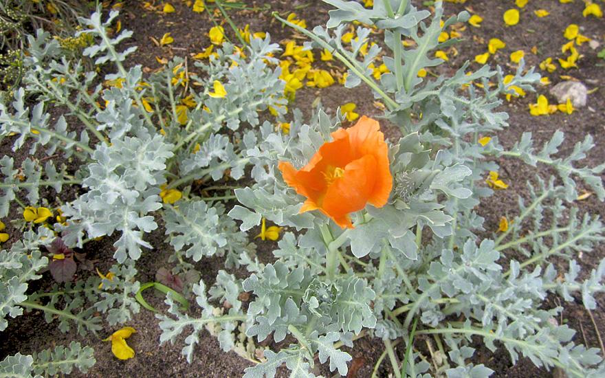 Hornmohn, orange blühend (Saatgut)