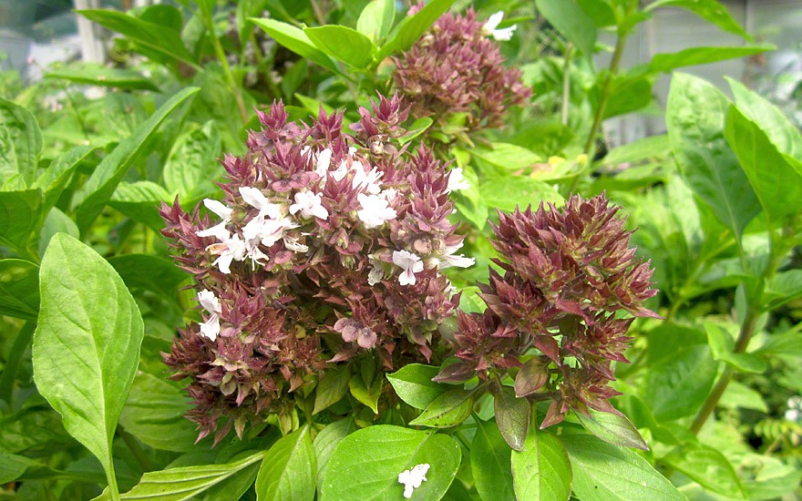 Thai-Basilikum (Horapha) (Saatgut)