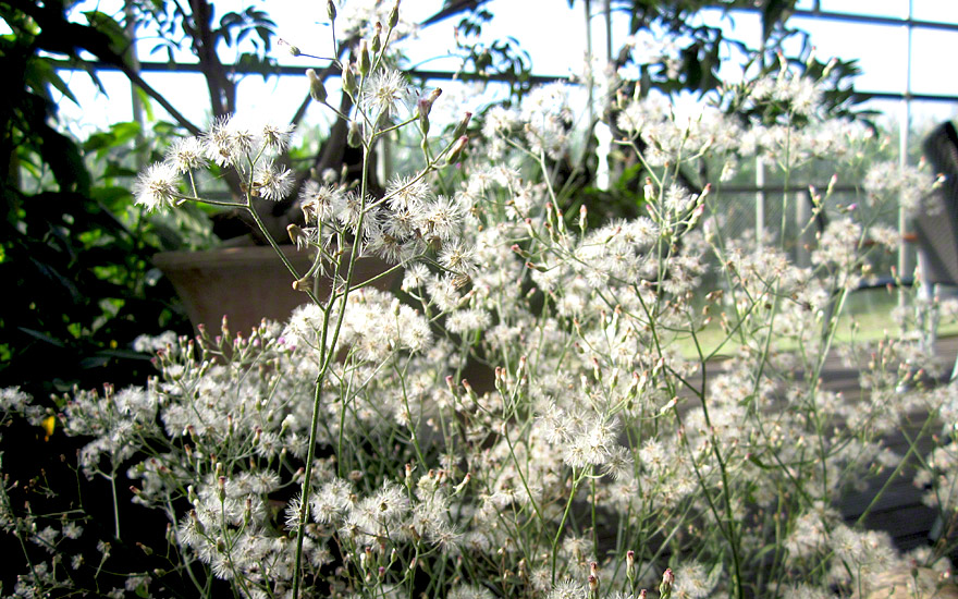 sahadevi saatgut vernonia cinerea vernonia cineria pflanzen f r den wintergarten nach. Black Bedroom Furniture Sets. Home Design Ideas