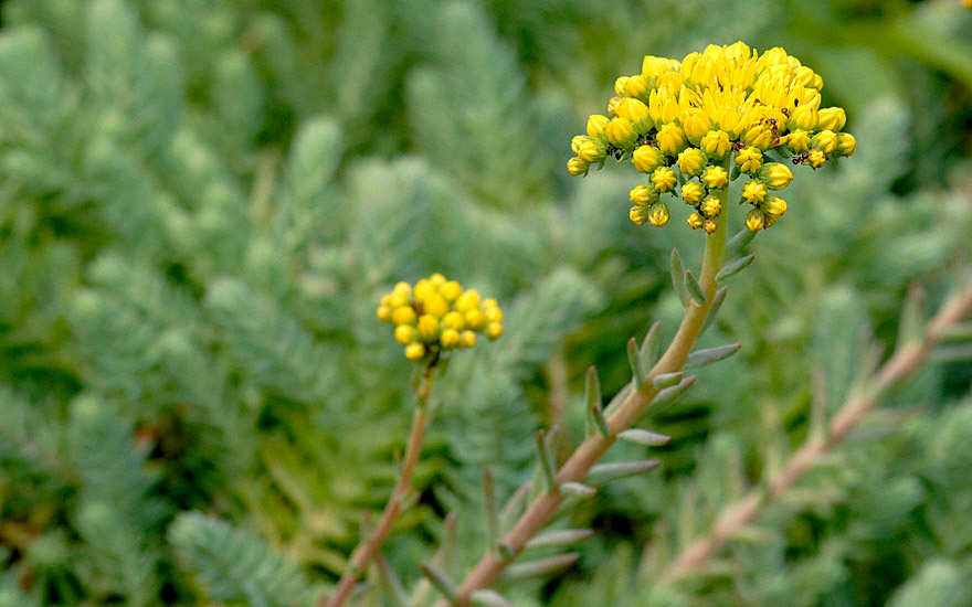 Tripmadam, blaugrau (Pflanze)