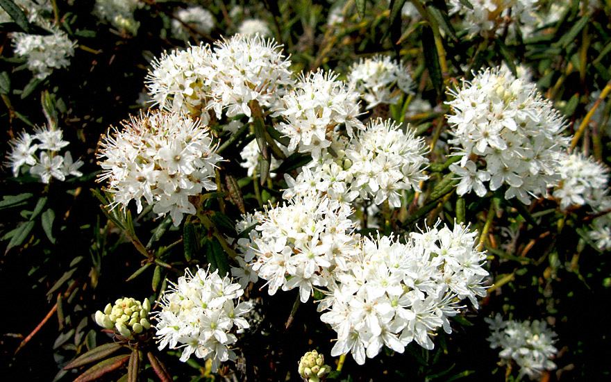 Grönländischer Porst (Pflanze)