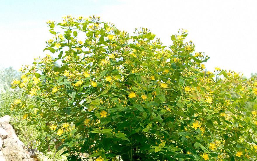 Johanniskraut, zitronenduftend (Pflanze)