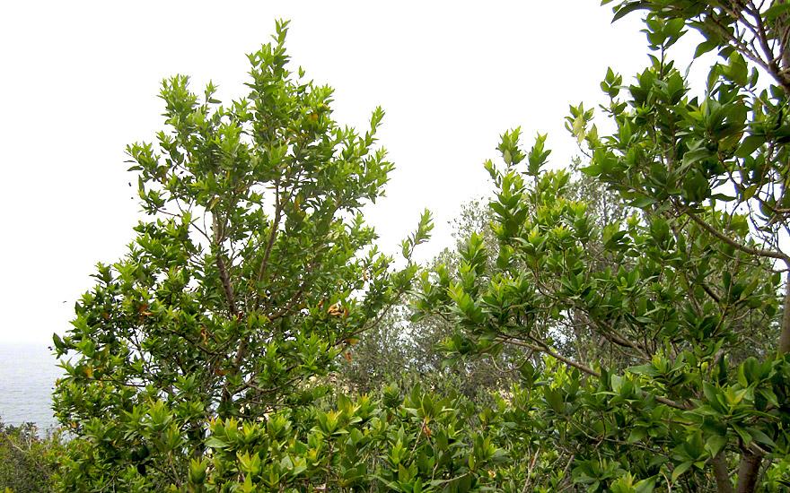Griechische Myrte (Pflanze)