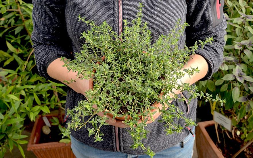 Earl-Grey-Thymian (Pflanze)
