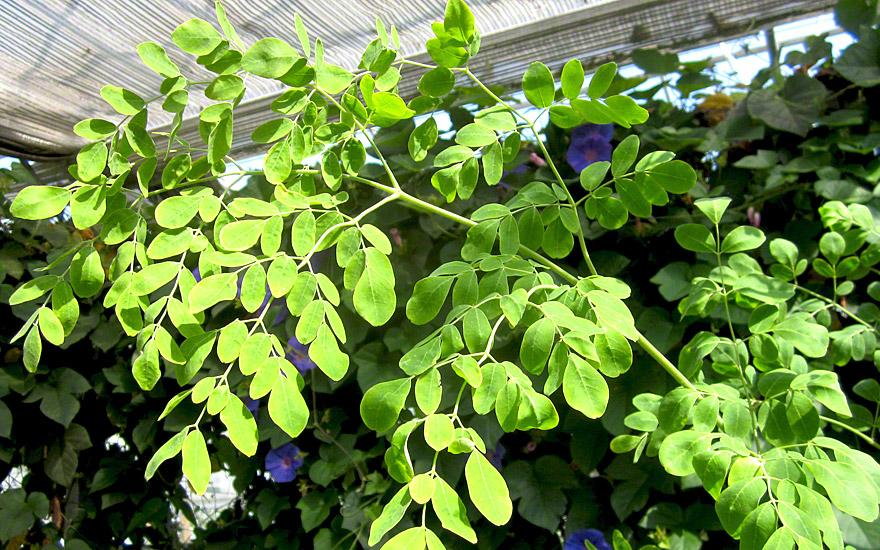 Asiatische Moringa (Saatgut)