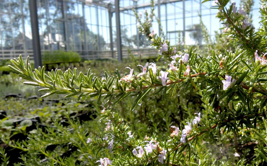 Rosmarin, hängend (Pflanze)