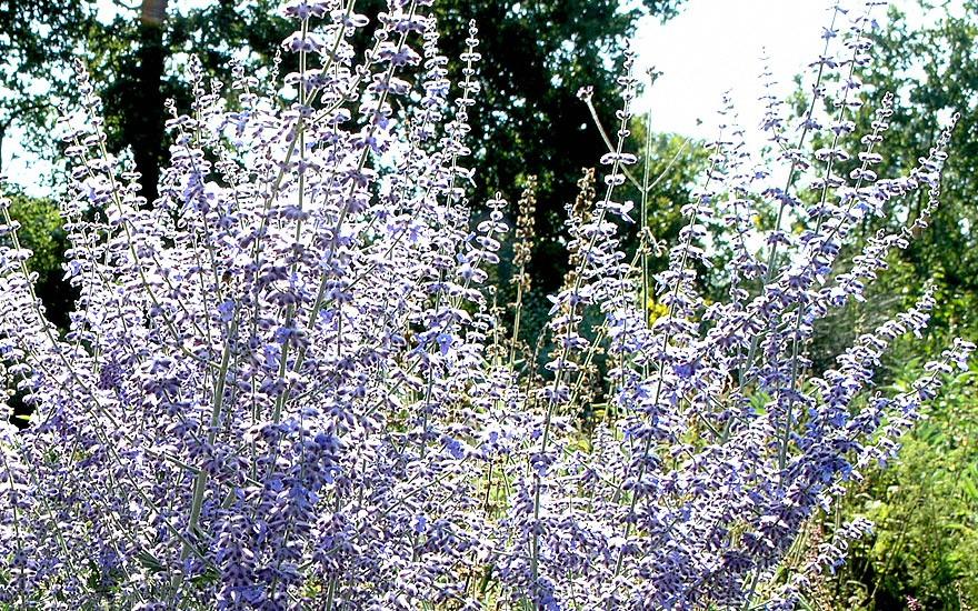 Russischer Salbei (Pflanze)