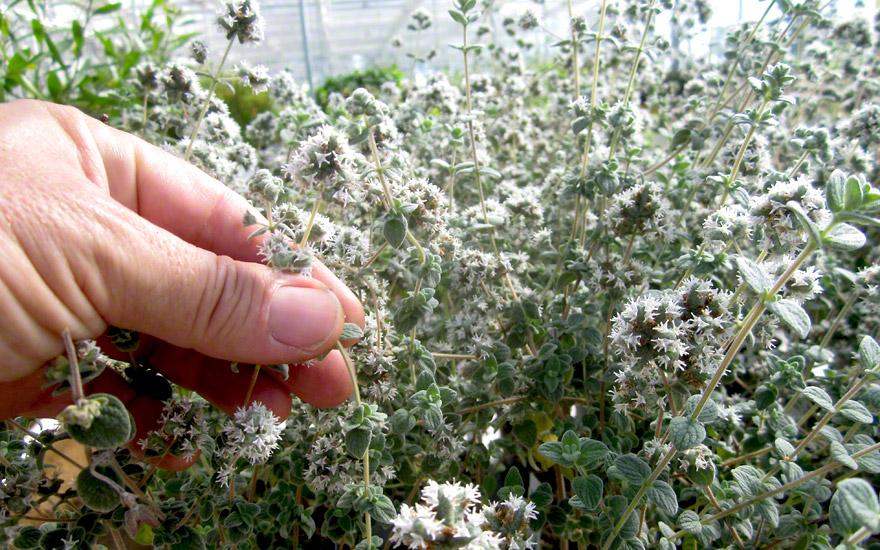 Zatar (Arabischer Oregano) (Pflanze)