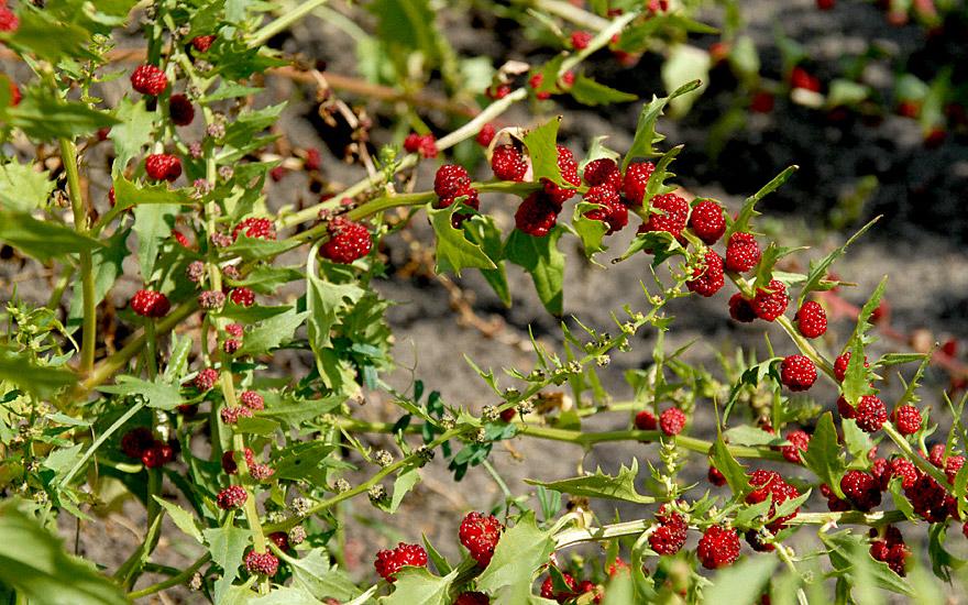 Echter Erdbeerspinat (Saatgut)