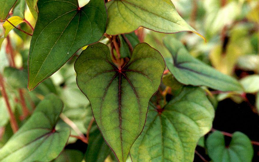 Chinesische Yamswurzel (Pflanze)