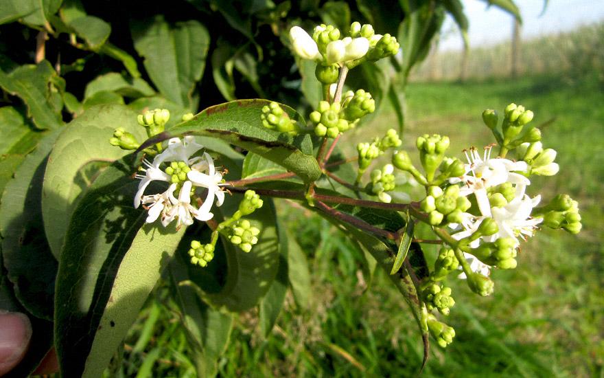 Sieben-Söhne-des-Himmels-Strauch (Pflanze)