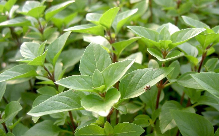 Russisches Strauchbasilikum (Pflanze)