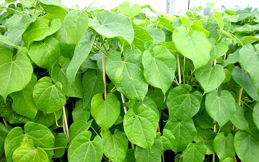 Guduchi (Pflanze)