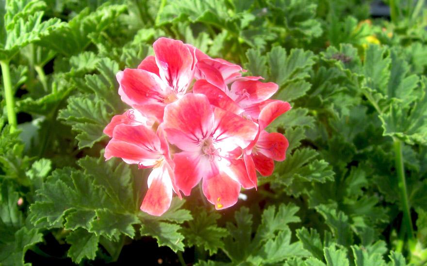 Duftgeranie 'Mrs. Ninon' (Pflanze)
