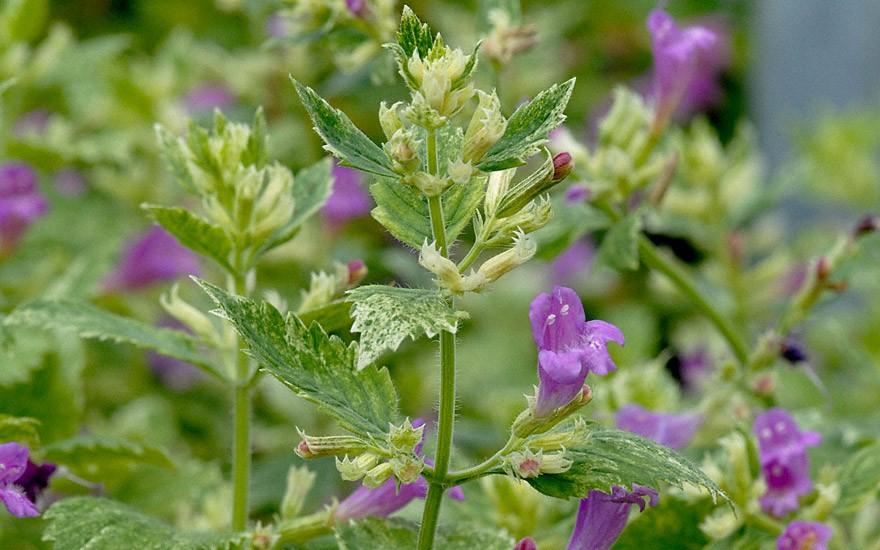 Gartenbergminze, weißbunt (Pflanze)