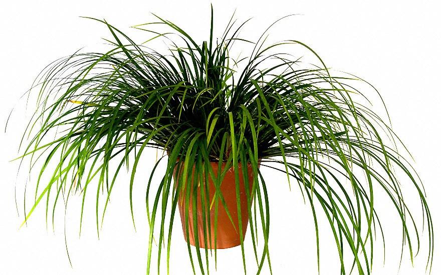 Lakritz-Kalmus (Pflanze)