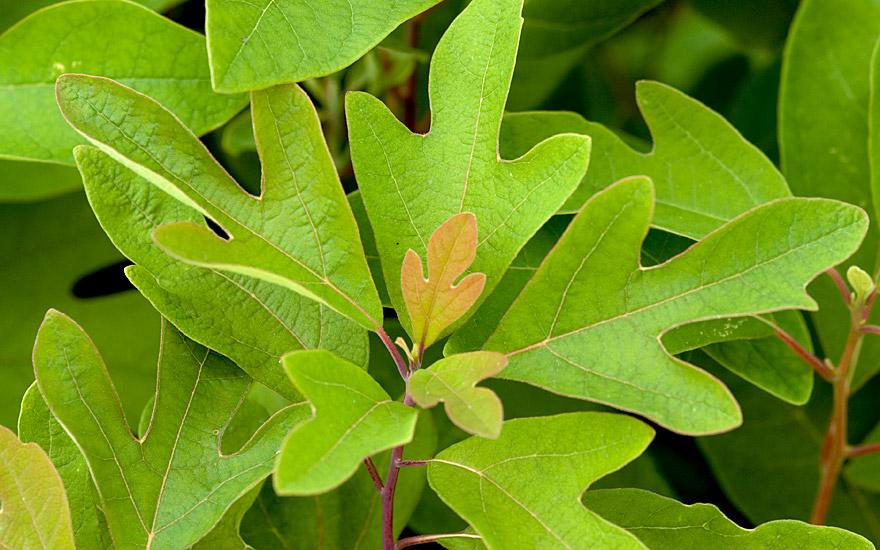 Sassafras (Pflanze)