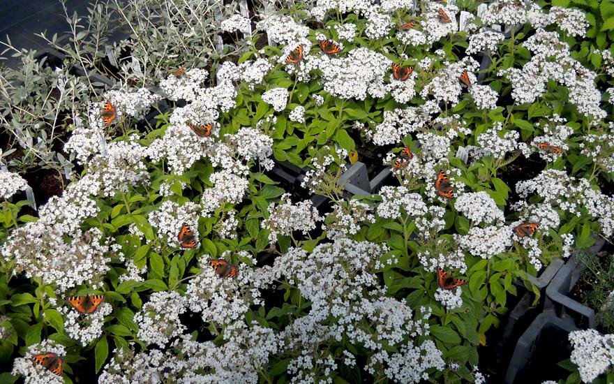 Heliotrop, weiß (Pflanze)