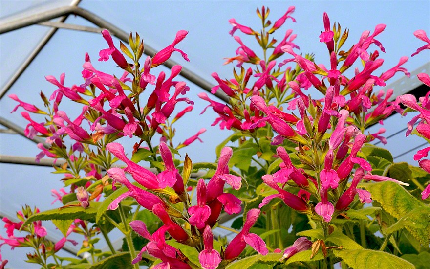 Fruchtsalbei (Pflanze)
