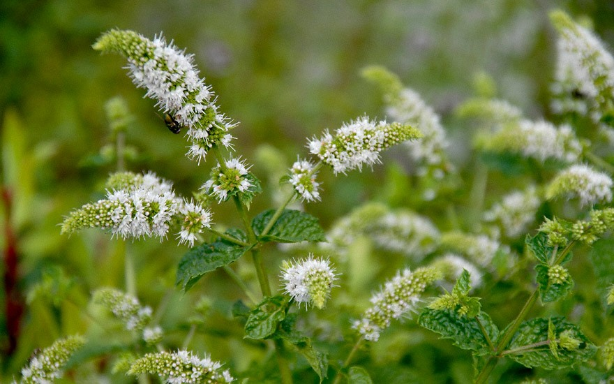 Kentucky Spearmint (Pflanze)