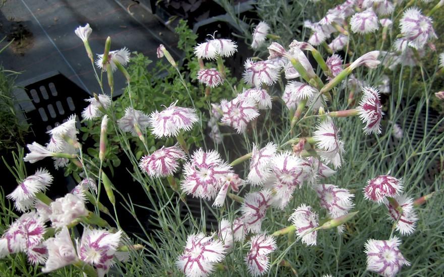 Tatra-Duftnelke (Pflanze)