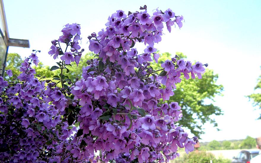 Australischer Minzestrauch (Pflanze)