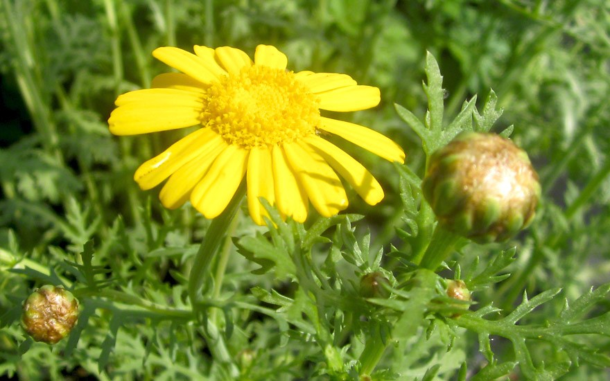 Speise-Chrysantheme (Saatgut)