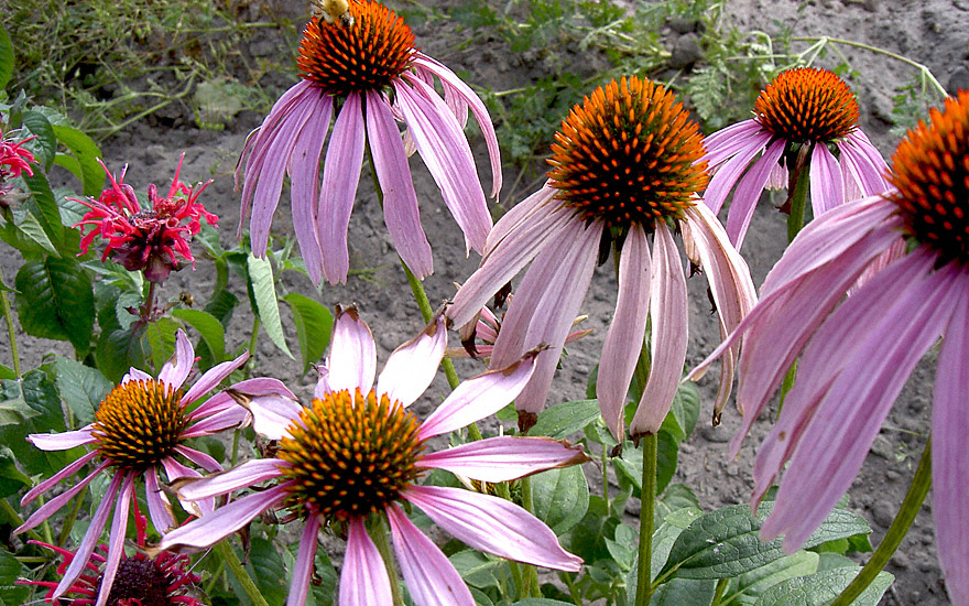 Echinacea (Pflanze)