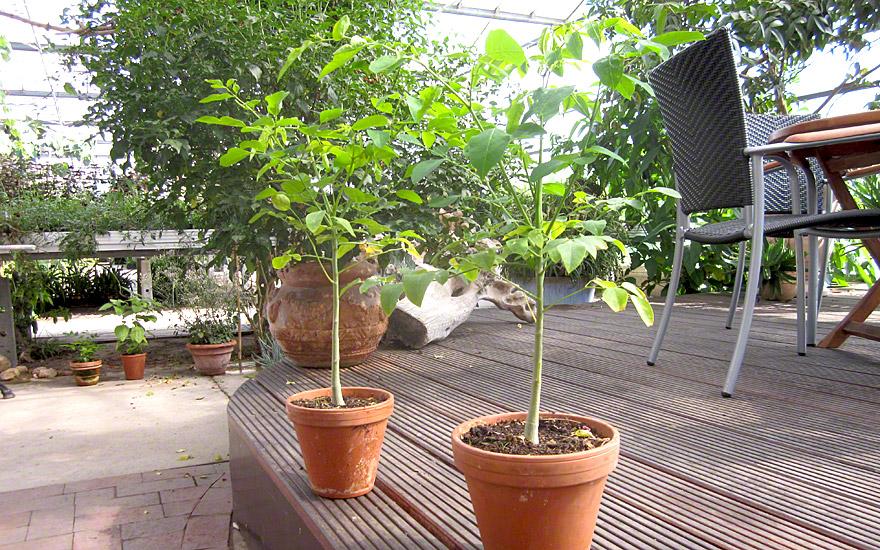 Afrikanische Moringa (Saatgut)