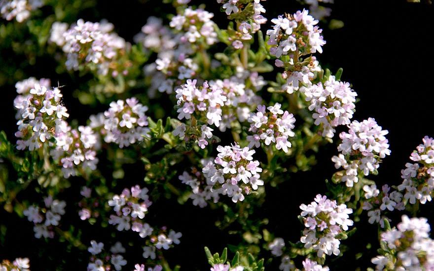 Thymian 'Fleur de Provence' (Pflanze)
