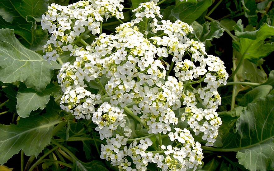 Meerkohl (Pflanze)