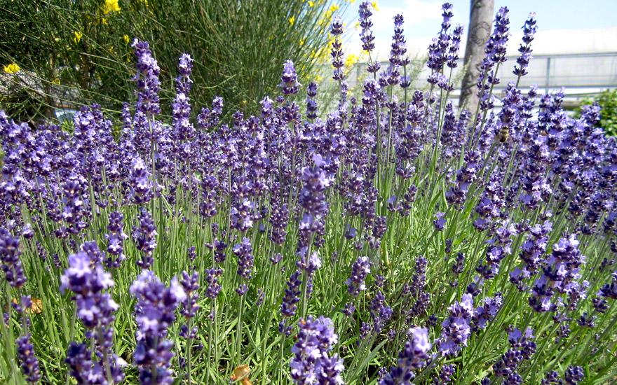 Lavendel 'Contrast' (Pflanze)
