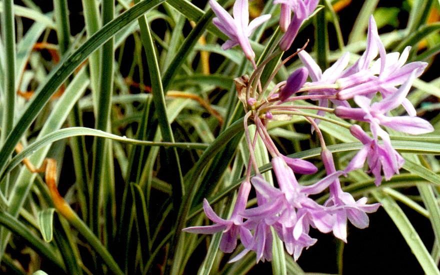 Zimmerknoblauch, weißbunt (Pflanze)