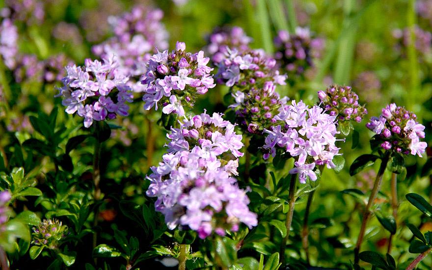 Kaskadenthymian, aromatisch (Pflanze)